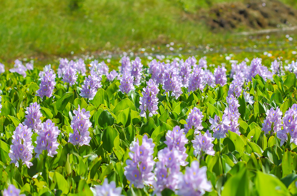 Water hyacinths grow and spread fast, and can quickly cover bodies of water. They deprive fish and aquatic flora of oxygen, and can interfere with fishing and water transportation