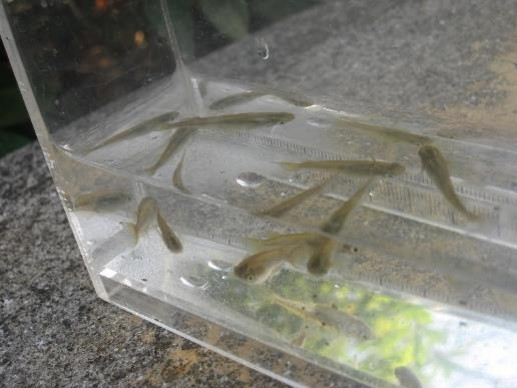 池の中で確認されたメダカ