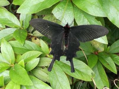 ビオトープ内で確認された主な生きもののひとつ、ジャコウアゲハ